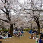 Hanami-la-festa-dei-ciliegi-in-fiore-in-Giappone-615x410